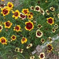 Coreopsis 'Incredible Mix'