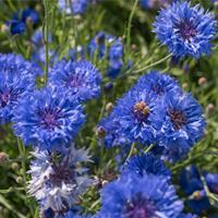 Cornflower 'Jubilee Gem'
