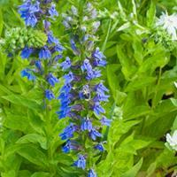 Lobelia - Great Blue
