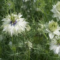 Love-in-a-Mist 'Miss Jekyll Alba'