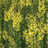 Mullein 'Butterfly Yellow'