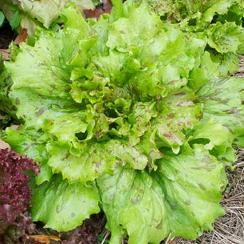 Lettuce 'Flashy Trout Back' Organic