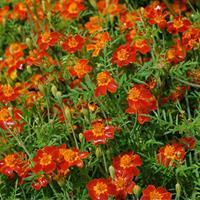 Marigold - Signet 'Red Gem'