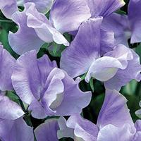 Sweet Pea 'Charlies Angel'