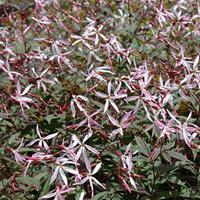 Porteranthus 'Pink Profusion'