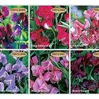 Sweet Pea 'Heirloom Fragrance' Plant Collection