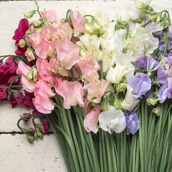 Sweet Pea 'Spring Sunshine' Plant Collection