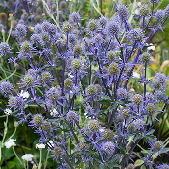 Eryngium Amethystinum Leaves
