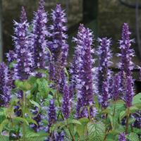 Agastache 'Korean Zest'