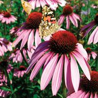Coneflower - Narrow Leaved Purple