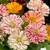 Zinnia 'Candy Cane Mix'